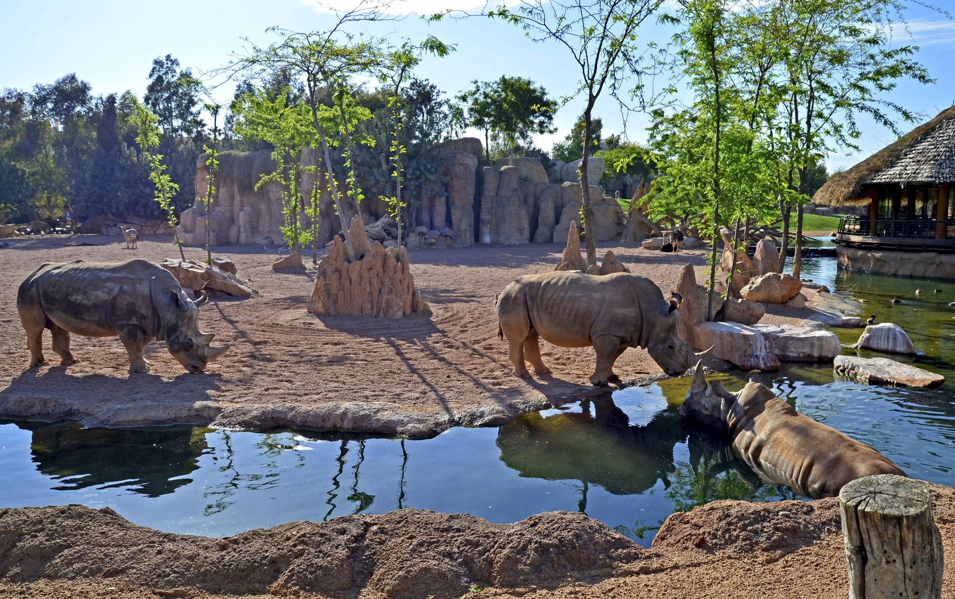 Rinocerontes refrescándose en la ría de la Sabana africana - Bioparc Valencia bj