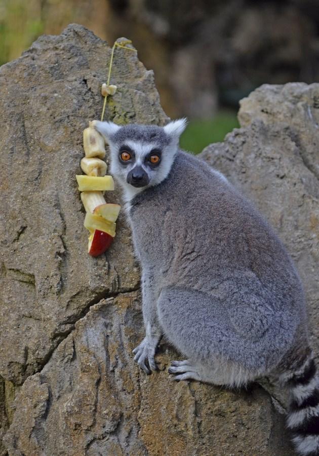 lémur de cola anillada junto a una brocheta - enriquecimiento ambiental en Expedición África navidad - BIOPARC VALENCIA (Copiar)